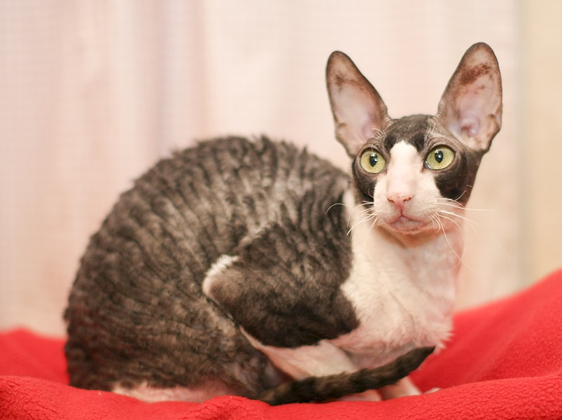 Корниш-рекс взрослый котик-компаньон
