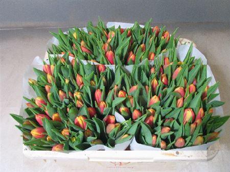 Тюльпаны оптом Голландия