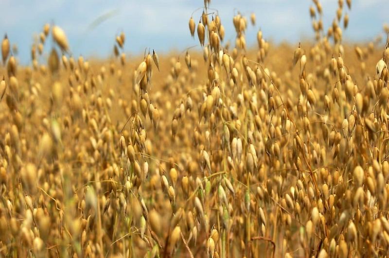 Семена ярового овса на посевную 2018