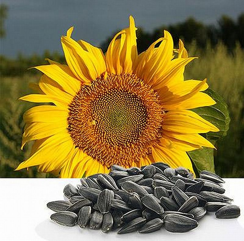 Семена подсолнечника гибриды классические и раннеспелые