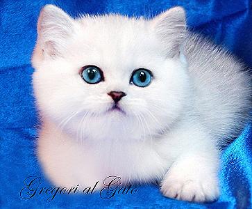 Британские котята шиншиллы серебристые тебби с изумрудными глазами