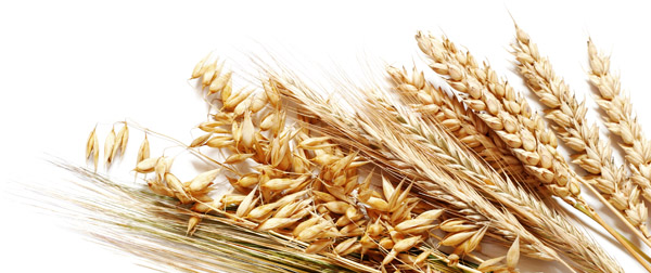 Семена ярового ячменя Ратник, Леон, Грис, Вакула