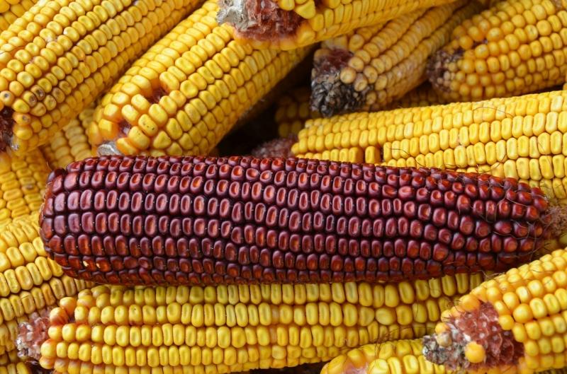 Семена кукурузы высокоурожайные