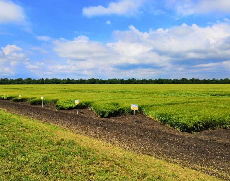 Семена озимой пшеницы, ячменя урожая 2020 г.